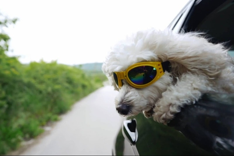 White puppy with sunglasses on hanging out of a car window